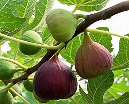 A2C Plant Anjeer-Common Fig Fruit Anjeer Live Plant With Pot (B07VC3L5TY) Amazon Price History, Amazon Price Tracker