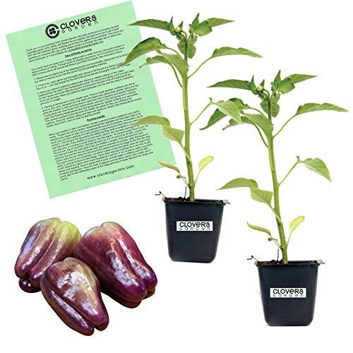 Clovers Garden 2 Purple Beauty Bell Pepper Plants Live - 4