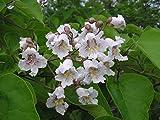 1 Catalpa Tree