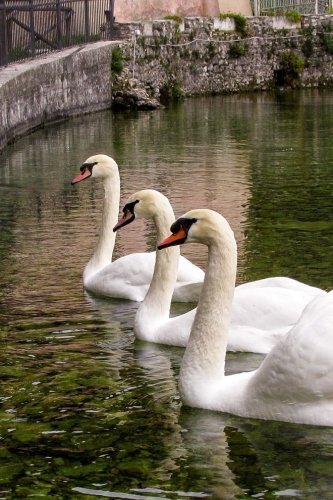 Three White Swans in a Row in a Rome, Italy Fountain Journal: Take Notes, Write Down Memories in this 150 Page Lined - Independent Italy