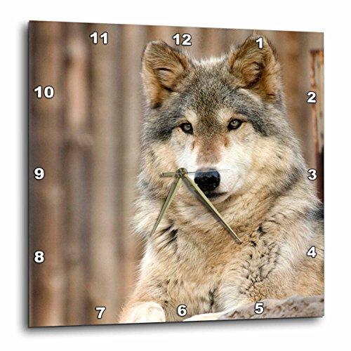 3dRose dpp_88650_2 Gray Wolf, Folsom City Zoo, California-Us05 Tau0105-Tananarive Aubert-Wall Clock, 13 by - Folsom Outlet