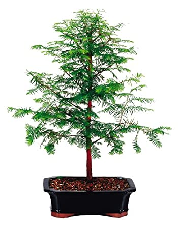 Amazon Com Brussels Live Dawn Redwood Outdoor Bonsai Tree 8 Years Old  Tall With Decorative Container Garden Outdoor