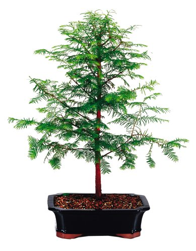 Brussel's Live Dawn Redwood Outdoor Bonsai Tree - 5 Years Old; 16