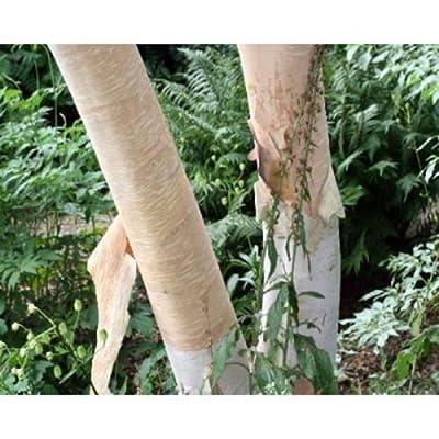 Creamy Bark Birch Tree Seeds, Betula costata