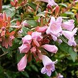 Glossy Abelia - Size: 2 Gallon (Abelia grandiflora)