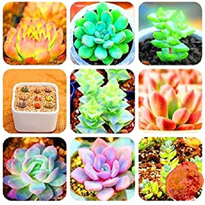 Bonsai Mix Lithops Rare Succulent Flower Pseudotruncatella 300 Pcs an : Garden & Outdoor