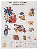 """3B Scientific VR0334UU Glossy Paper Das Menschliche Herz Anatomie Und Physiologie Chart (Human Heart Anatomy and Physiology Chart, German), Poster Size 20"""" Width x 26"""" Height"""