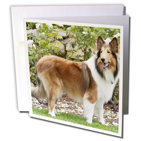 Collie dog in front of white roses - Greeting Card, 6 x 6 inches, single (gc_140385_5)