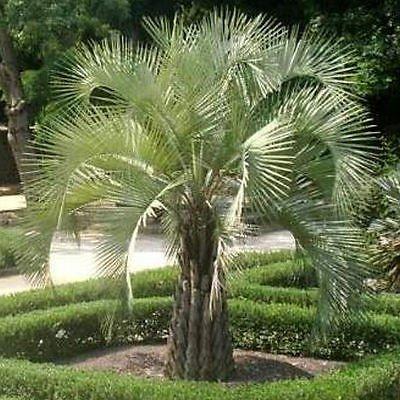 Pindo Palm Tree - PINDO PALM cold hardy 10, 50, 100, 500, 1000 seeds