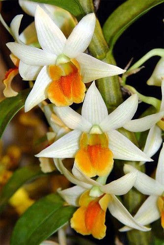 2-plants- Den. Frosty Dawn -EASY To GROW! FRAGRANT! Attractive! Nice!- Orchid Plant