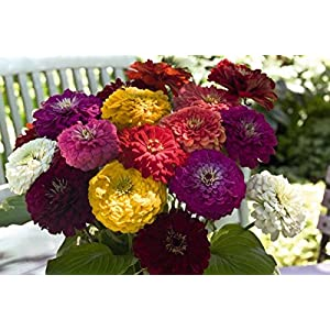 Zinnia - Giant Flower Heads! MANY COLORS! 4 FT TALL! Comb.S/H! SEE OUR STORE 3