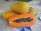 HOT!! - 50 Seeds Red Lady Papaya Seed