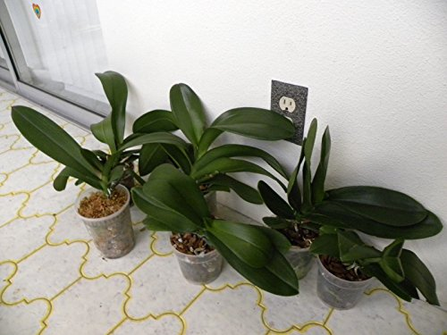PHALEANOPSIS Orchid PLANTS. SALE w/special pricing. ALL previously bloomed. by Ma_Plant