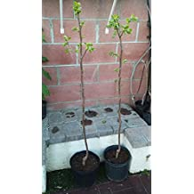 Fuyu Asian Persimmon Tree 3 - 5 ft; Grafted, fruiting age