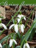 Spring flowers. Snowdrops and the bees