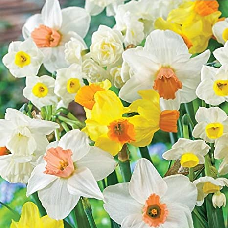 All Spring Blooming Daffodil Collection Bulbs YUN PRE-Order for Fall Mixed Daffodil Narcissus Flowering