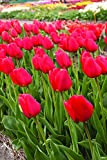 SILKSART 25 Red Tulip Bulbs early bloom Perennial Bulbs for Garden Planting Beautiful Flower--SHIPPING NOW!!!