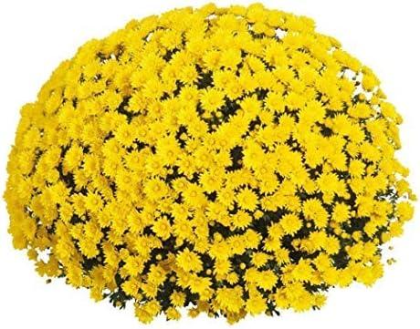 SUBTLE 100粒 菊の種 黄色い菊 ガーデンの装飾 植物の種 花 高い発芽率 簡単に育てる 観葉植物 開花 園芸