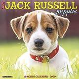 Just Jack Russell Puppies 2020 Wall Calendar