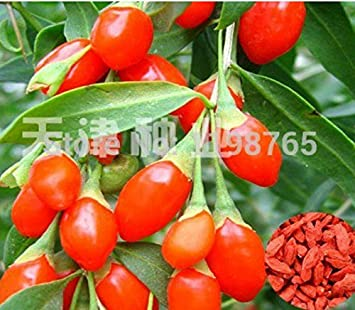 Amazon Com 50pcs China Top Quality Super Big Goji Berry Seeds