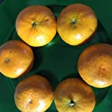 5 Honey Tangerine Seeds Citrus Bonsai