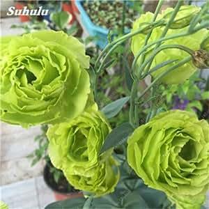 100 semillas PC Eustoma De Platycodon Grandiflorum interior Semillas Balcón de flores perennes vegetales de los pastizales genciana Flores