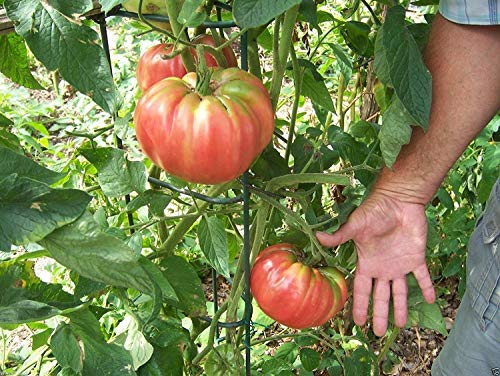 Tomato Seeds, German Pink, Meaty flesh with few seed, Heirloom Slicing Tomato !(500 seeds)