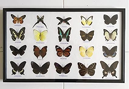 Amazon.com: REAL 20 MIX BUTTERFLIES Collection Taxidermy Framed Thai ...