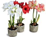 Amaryllis Lilly Flower Bulbs (Pack of 11) By Gate Garden