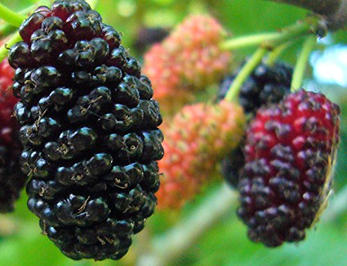 2-3' Black Mulberry Tree, Sweet Fruit to Enjoy Year after Year, Fruit Bearing Potted Plant