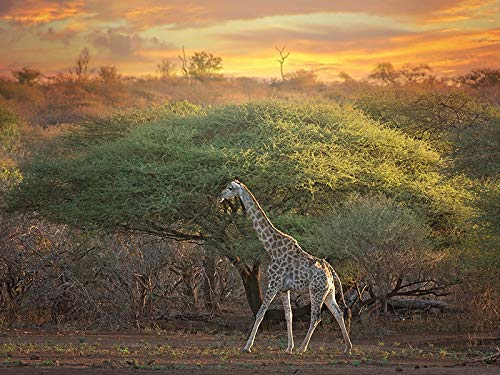 Giraffe Landscape - Wildlife Photograph Animal Picture Home Decor Wall Nature Print - Variety of Size Available