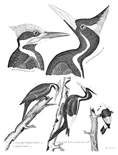 American Ornithology N1 Ivory-Billed Woodpecker 2 Pileated Woodpecker 3 Red-Headed Woodpecker Line Engraving From Alexander WilsonS American Ornithology 1808-1814 Poster Print by (18 x 24)