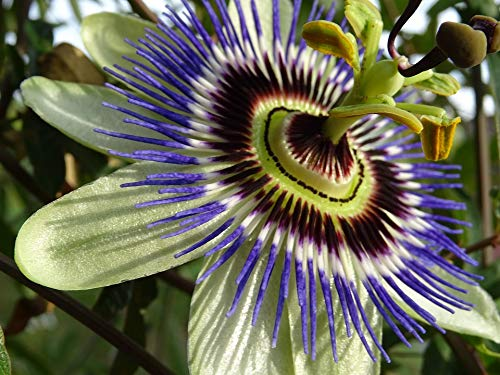 Home Comforts Framed Art for Your Wall Passion Flower Close White Purple Vivid Imagery 10 x 13 Frame