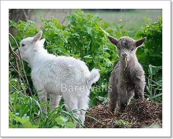 Amazon com: Barewalls Little Goats Graze  Paper Print Wall