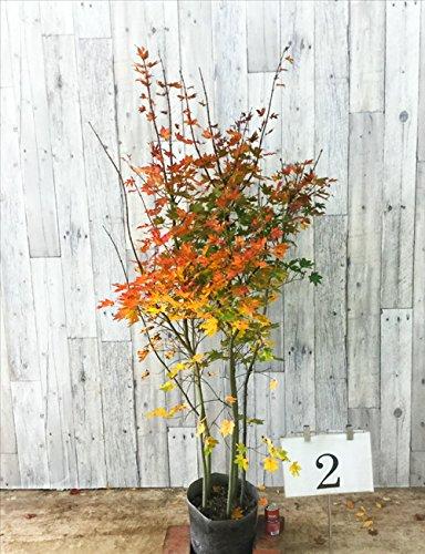 オリーブ 樹高1.2m前後 24cmポット オリーブの木 鉢植え 苗木 植木 苗 庭木 生け垣 B01NAVF8VQ