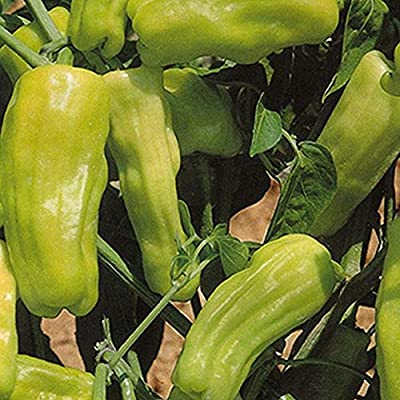 Stavros Pepper - heirloom Greek Pepperoncini - spicy/sweet flavor!! (10 - Seeds) : Garden & Outdoor