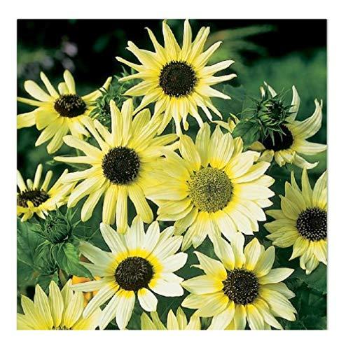 David's Garden Seeds Sunflower Vanilla Ice 7243 (Yellow) 50 Non-GMO, Open Pollinated Seeds