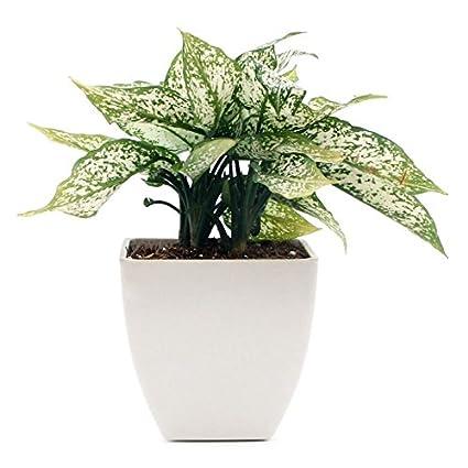 Exotic Green Indoor Plant Aglaonema Green Amazon Garden Outdoors