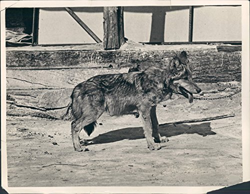 1923 Baby Timber Wolf Selig Zoo Los Angeles CA Animal Vintage Pant Press Photo