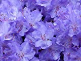 Blue Diamond' Rhododendron 15-20cm tall in 2 litre Pot With Violet-Blue Flowers 3fatpigs