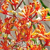 New Arrival! 20PCS Rare Kangaroo Paw Seeds,Rare Plant Seeds,Bonsai flower Seeds,Natural Growth,Plant For home Garden