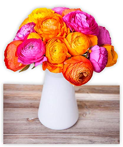Tecolote Ranunculus Steamy Evening Collection - Persian Buttercup Bulbs - 30 XL Bulbs - 8+ cm | Ships from Easy to Grow TM (Bulbs To Plant In Spring For Summer Flowers)