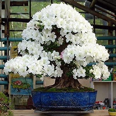 10 PCS japanese sakura plants rare Japanese cherry Blossom bonsai
