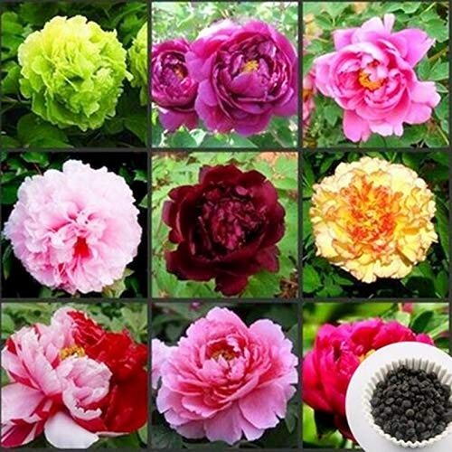 (Plants Peony Perennial Seeds Chinese Peony, Peony Root Seeds, 5 Pcs Peony Seeds (Mix Color))