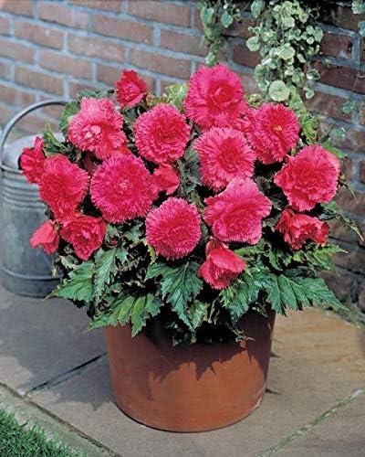 5 x Fimbriata Pink Begonia Bulbs//Tubers 5//6
