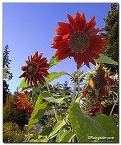 Sunflower- Red Sun- Helianthus Annus- 100 Seeds