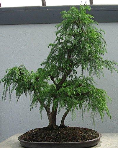 100 Japanese Red Cedar Tree Seeds / Cryptomeria Japonica /