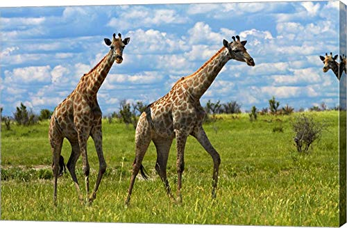 (Giraffe, Nxai Pan National Park, Botswana, Africa by David Wall/Danita Delimont Canvas Art Wall Picture, Gallery Wrap, 35 x 23 inches)