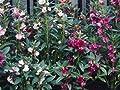 David's Garden Seeds Flower Impatiens Balsam DGSIMP111TZ (Mulit Color) 500 Heirloom Seeds