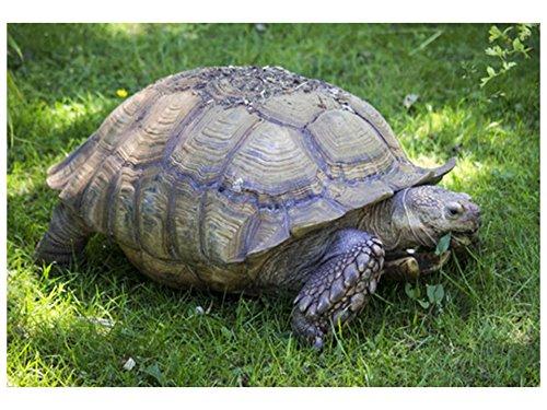 Broadleaf Tortoise Forage Blend Seeds Hermanns Testudo ST25 (400 Seeds)